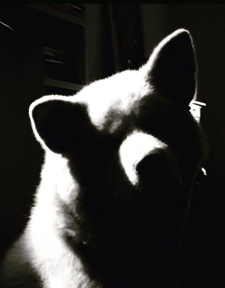 Akita Inu dog BW