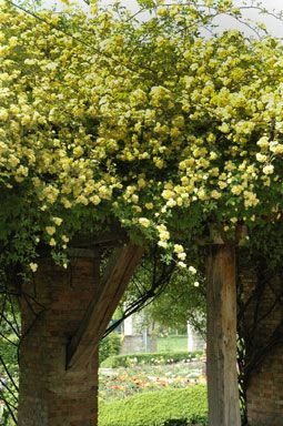 22 best ROSIERS images on Pinterest | Flowers, Climbing roses and ...