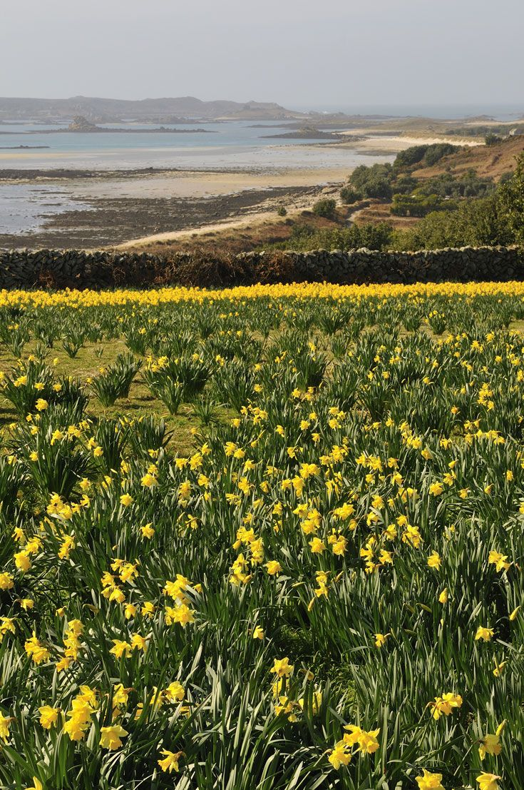 narcissus field overlooking the st martin's flats, isles of scilly Cornwall. The main industry on Scilly. Because of the semi tropical climate the bulbs grow from October through until it is time for the scented pinks. Alway buy bunches at Christmas to remind me of my beloved little islands....