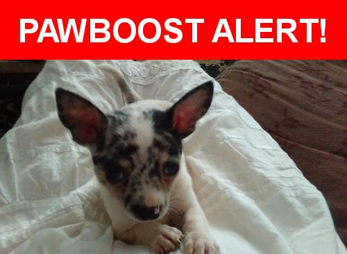 Please spread the word! Rico was last seen in Redding, CA 96003.    Nearest Address: Arboretum Drive, Redding, California