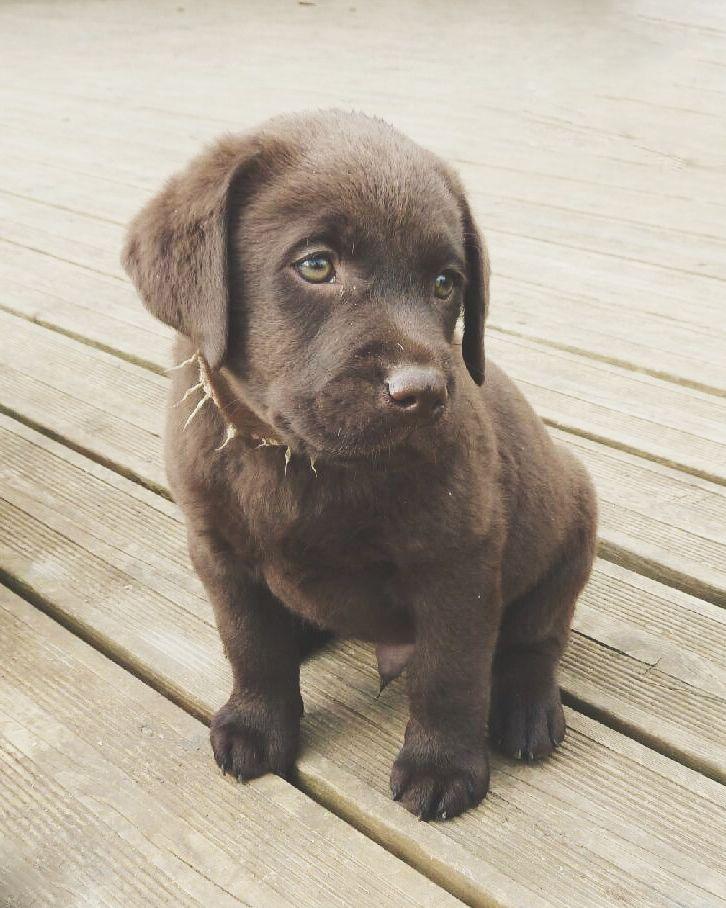 Labrador chocolat - Django - Puppy 7 weeks