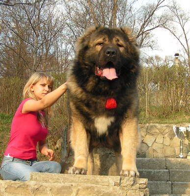 12 Best Images About Gigantic Russian Bear Dog On
