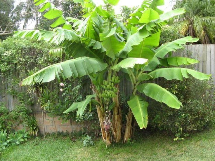 Dans cet article nous vous présentons nos conseils en ce qui concerne la culture des bananiers à la maison.Cette plante exotique apportera une bonne humeur