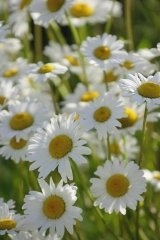 Just Seed British Wild Flower - Oxeye Daisy - Ox eye - Leucanthemum vulgare -10g Seed by Just Seed, http://www.amazon.co.uk/dp/B0084C7WF2/ref=cm_sw_r_pi_dp_Gcgyrb1GWERGX