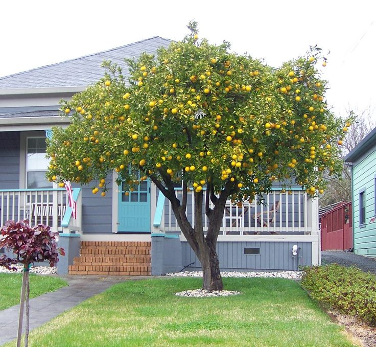 Lemon Tree To Replace Willow Plants Citrus Trees