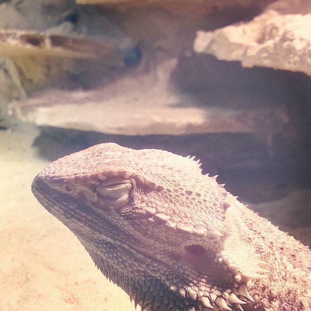 Happy Agi, is happy me. #pogonavitticeps #pogona #beardeddragon #reptile #dragon #beardie #beardies #pet #animal #instagood #photooftheday #nice #dinosaur #swag #animals #desert #australia #czech #thorny #walking #hey  #likeall #fff #uff #follow4follow #sfs #romance #light #giant #beard