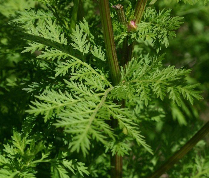 Erstaunliche Wirkung:Diese Pflanzezerstört 98 % der Krebszellen in nur16 Stunden