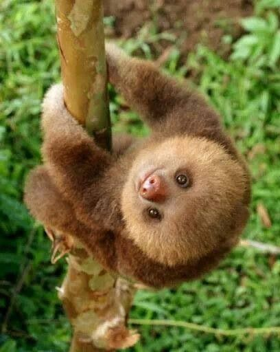 """AWW isn't that cute! Yeah, not really because sloths are the dirtiest animals in their ecosystem. They also bite when provoked and believe it or not they can actually move faster then their typical """"sloth pace"""" when they want to."""
