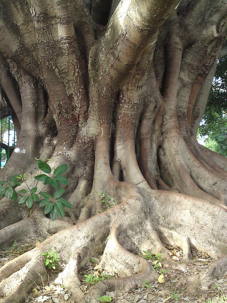 Brisbane Fig tree