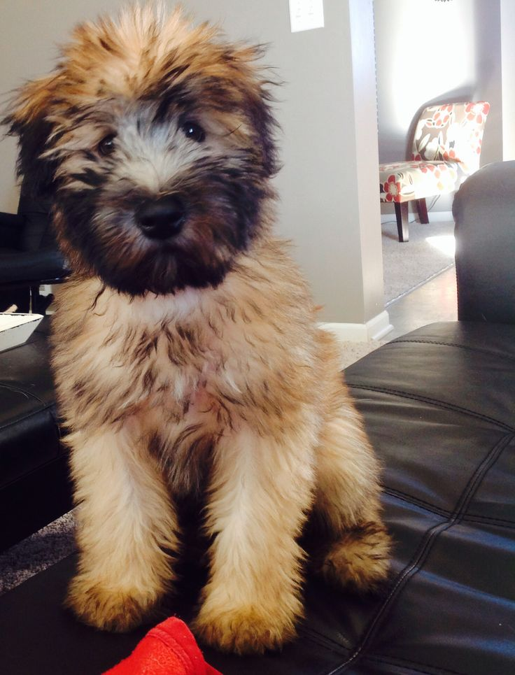 Wheaten terrier puppy, after Alex and I settle down