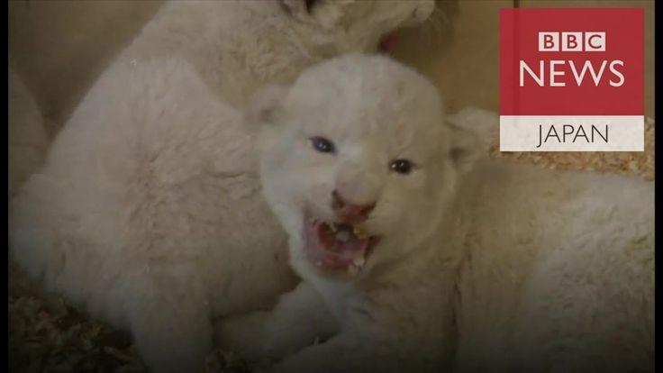 ポーランド・ボリセフのサファリ動物園で18日に生まれたホワイトライオンの赤ちゃんが22日、初お目見えされた。5歳の母アジラが人間を近づけないため、性別はまだ不明という。