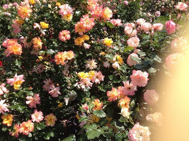 Firecracker roses