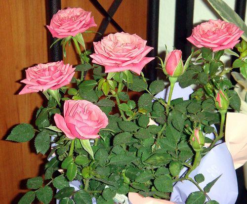 A beltéri mini rózsa gondozása - Gondozás és ápolás - Szobanövény