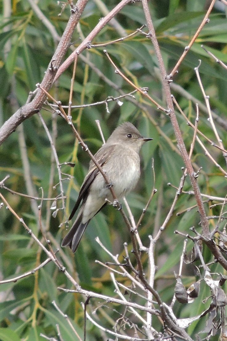 Western Wood-Pewee ©Steve Frye. Wild Bird Center of Boulder, CO Saturday Morning Bird Walk in Boulder County - September 13, 2014.