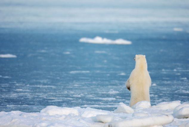 Polar bear habitats falling apart!