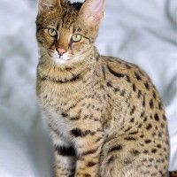 #dogalize Cat breeds: the Savannah cat characteristics and behavior #dogs #cats #pets