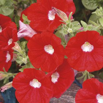 Petunia Surfinia Red with Eye