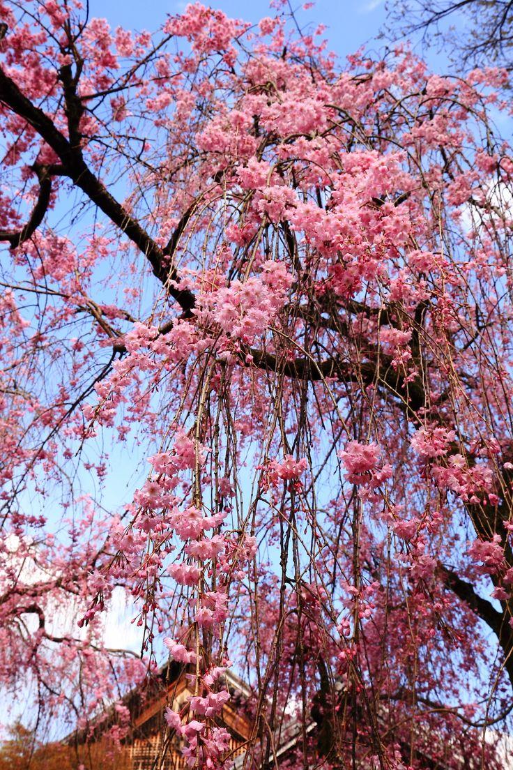 weeping cherry tree Yogenin-Temple in Kyoto,Japan