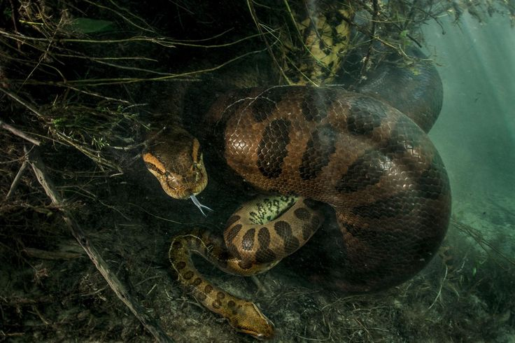 Photographer Luciano Candisani has captured the first-ever photographs of a green anaconda squeezing her mate to death in Brazil.
