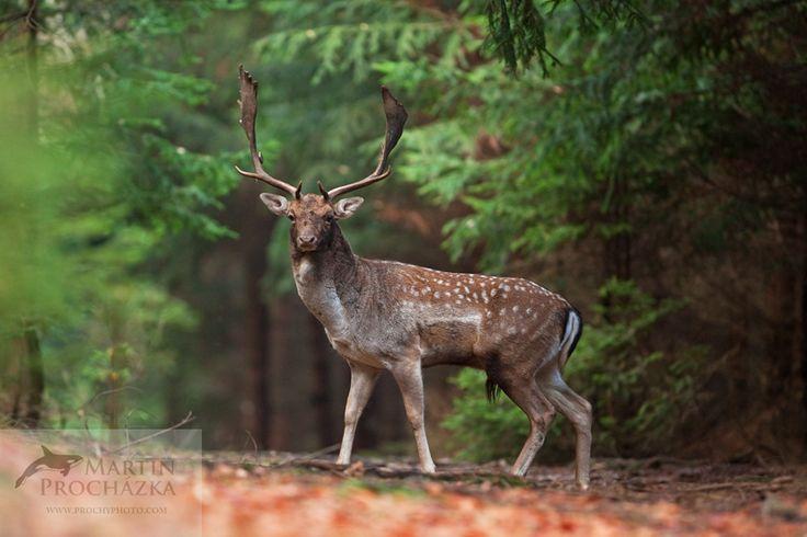 Fallow deer (Dama dama), daněk skvrnitý