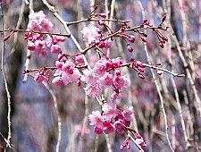 A Beginner's Guide to Cherry Blossom Viewing: Cherry Tree Varieties. Shidarezakura (Weeping Cherry)