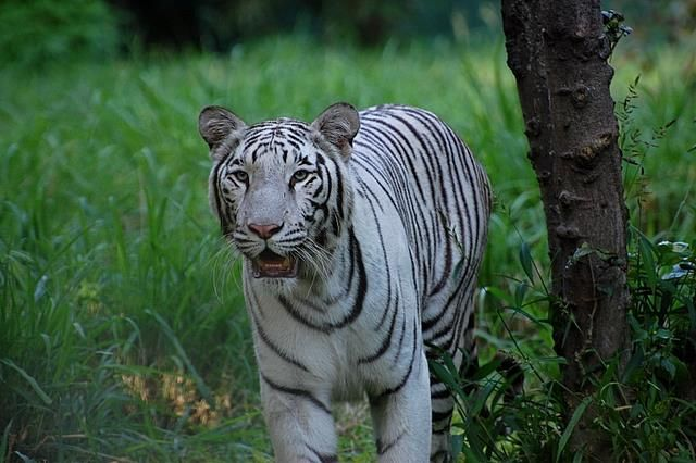 Bengal White tiger at Mysore zoo