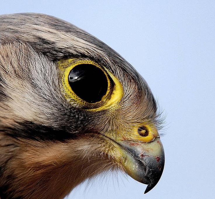 Fotograaf: ajoosse De kop van een mannetje Torenvalk van heel dichtbij. Categorie:Vogels (mus, valk, etc) Tags:torenvalk, kop Nederlandse naam: Torenvalk Wetensch. naam: Falco tinnunculus
