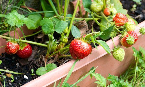 Oltre 25 fantastiche idee su piante in vaso su pinterest for Piante da frutto vaso