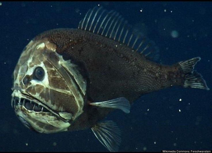 Most Bizarre Deep Sea Creatures Fangtooth Fish Nature