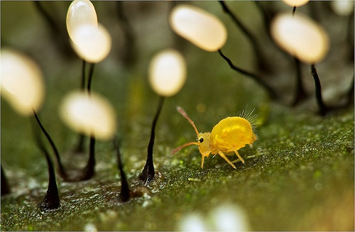 Globular springtail in a forest of myxomycetes by Dmitri Pavlov
