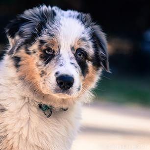 Blue merle. | 19 Reasons Australian Shepherds Are The Best-Looking Dogs In The World