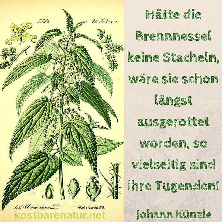 Hätte die Brennnessel keine Stacheln, wäre sie schon längst ausgerottet worden, so vielseitig sind ihre Tugenden! - Johann Künzle