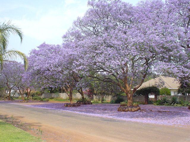 Jacaranda trees in bloom.   Suburbs, Bulawayo, Zimbabwe.