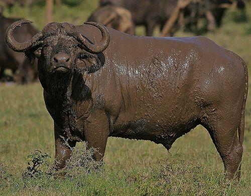 African Cape Buffalo - Syncerus caffer