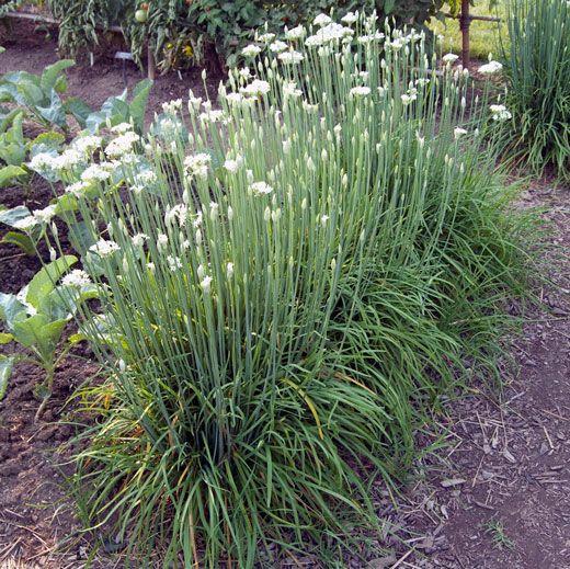 how to grow garlic indoors in winter