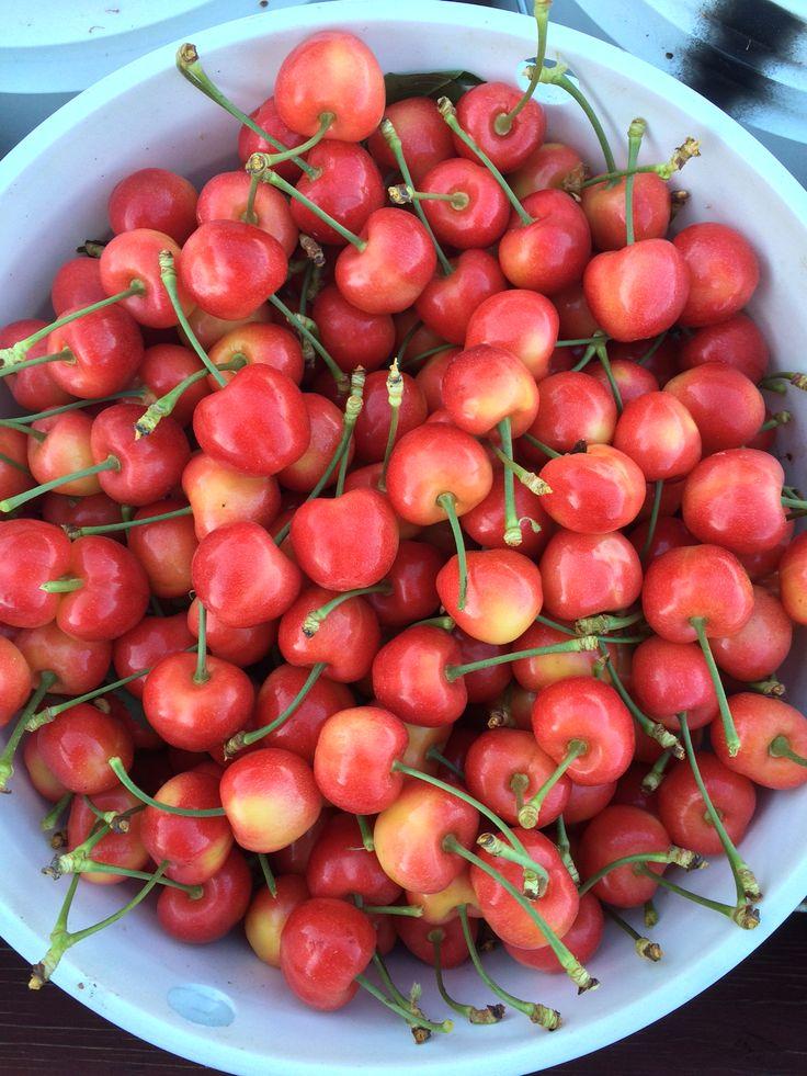 Cherry | Picked Cherries on a Farm