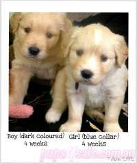 Beautiful Golden Retriever x Border Collie puppies, these would be good dogs.