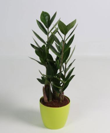 Zamioculcas zamiifolia Zámia vagy Legényvirág