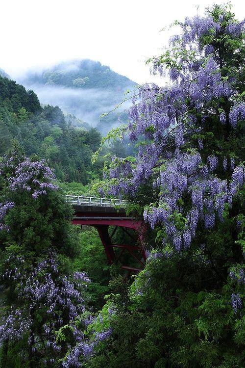Wisteria, Kitayama, Kyoto, Japan 藤の季節に行きたいな。