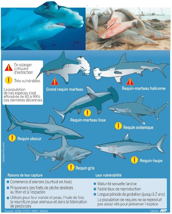 20 Minutes Online - Un tiers des requins de haute mer menacés - Infographies