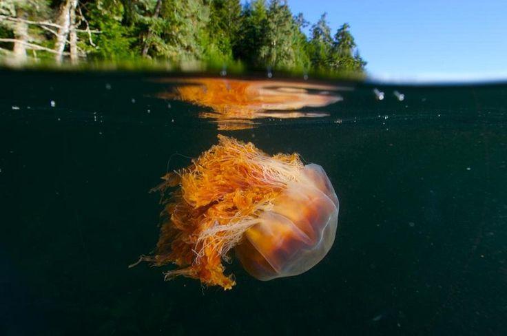 Bizarre Facts About Jellyfish Lion's Mane - Mari M.