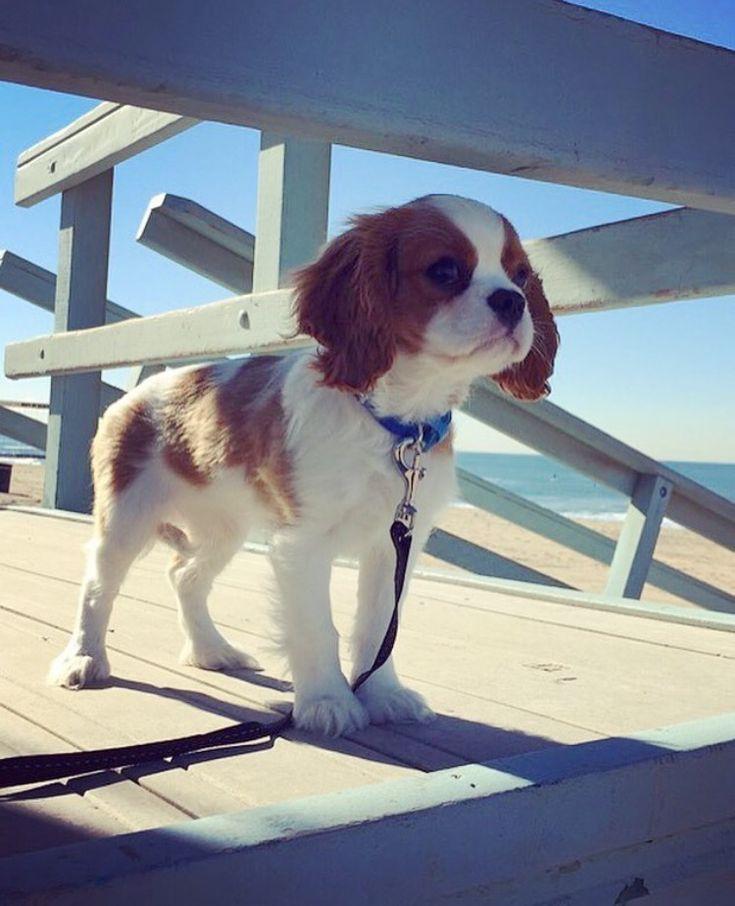 Winston the Cavalier King Charles Spaniel Puppy CKCS