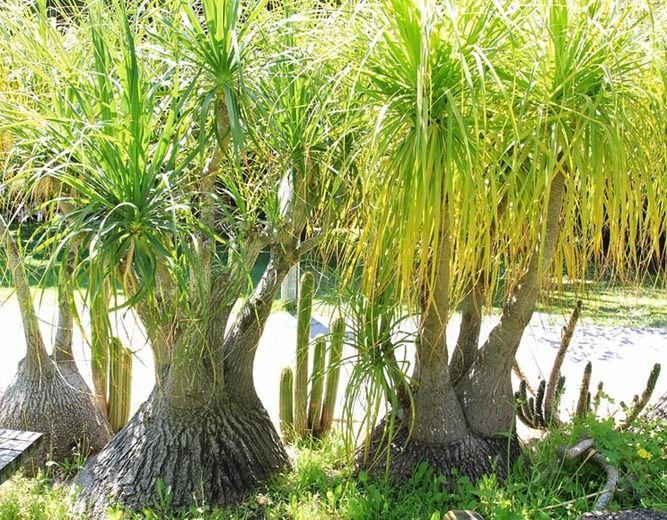 Beaucarnea recurvata, Pony Tail Palm, Ponytail Palm, Pony Tail, Elephant's Foot, Bottle Palm, Nolina recurvata, Drought tolerant shrub, drought tolerant tree