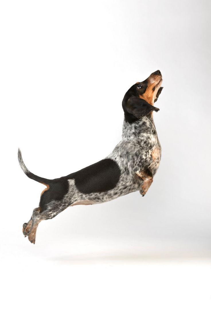 #dachshund#piebald