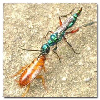 The emerald jewel wasp is a marvel of evolution. And evil.