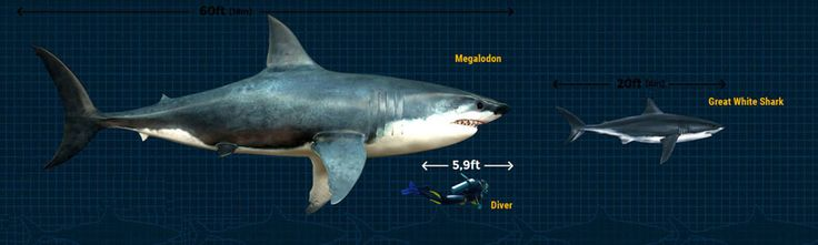 Megalodon is the biggest and deadliest predatory shark to ever ruled the oceans of the world. This whale-eating sea monster could grow as much as 60 feet long...