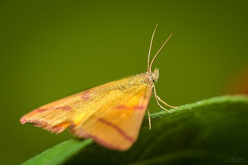 Yellow moth (Lythria purpuraria)