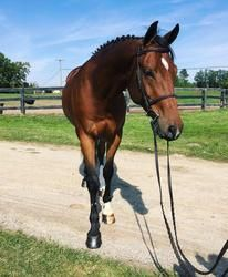 King is a 7yo 16.2 hand American WB gelding. Huge, correct jump, huge step, auto lead change. Really quiet ride and easily could double as an equitation horse. He has tons of personality and is easy to live with. King is very quiet and can be ridden by anyone. He knows the flat tricks, but needs some polish. He has show miles up to 3