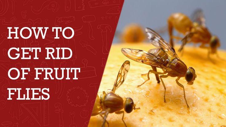 How to Get Rid of Fruit Flies |  DIY  Tips