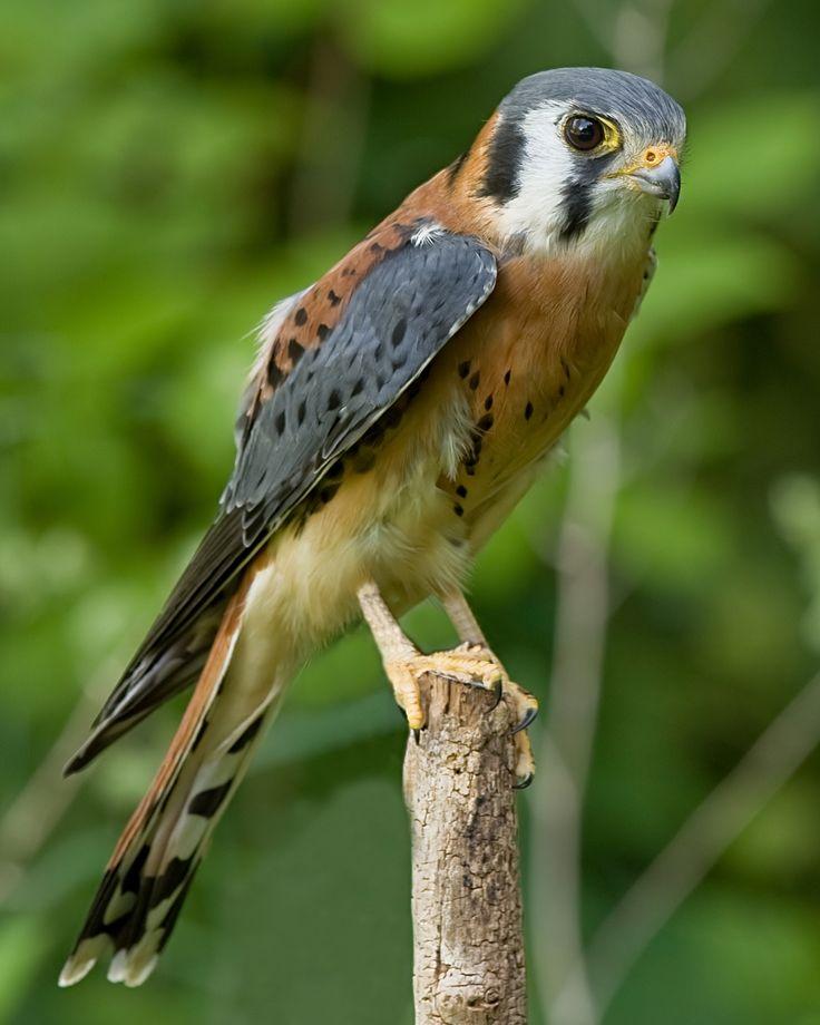 Pictures of the Sparrow Hawk kestrel | American Kestrel